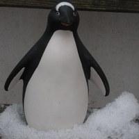 pinguin medium